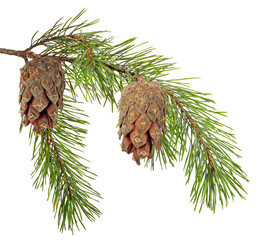 green pine branch with two cones