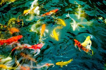 vintage filter : Crowd of Koi fish in pond,colorful natural back