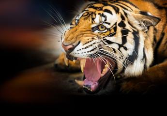 Growl siberian tiger