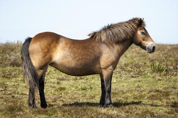 Exmoore Pony Winsford hill Somerset England United Kingdom.