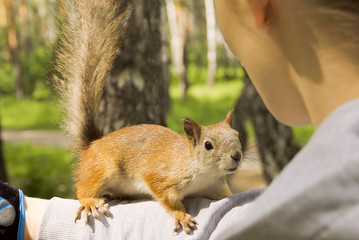 Red squirrel climbed onto the girl's hand.