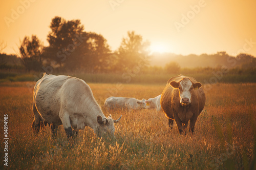 Wall mural Cows on pasture