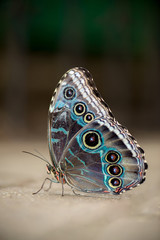 Male Blue Morpho