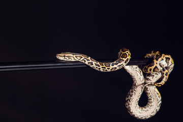 tiger python, black and yellow, against black background