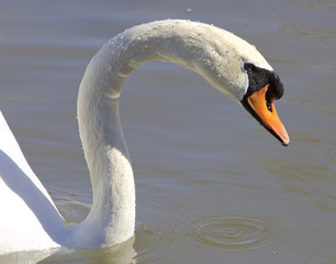 Beautiful neck of the swan