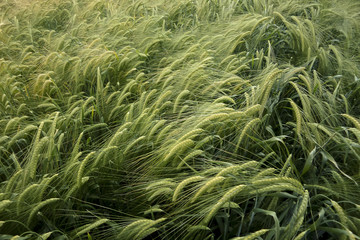Green colored agricultural wheat