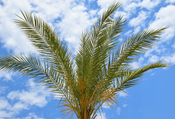 leaves of the palm tree on the background of bright blue sky with clouds