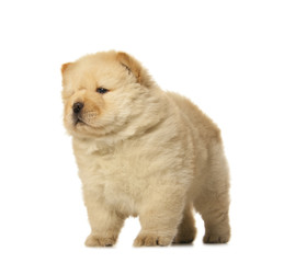 Wall Mural - chow-chow puppy