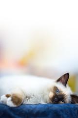 lying siamese kitten look at you blue eyes