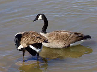 Two cackling geese