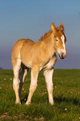 Piccolo cavallo al tramonto