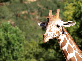 Closeup Shot Of Giraffe Head And Neck