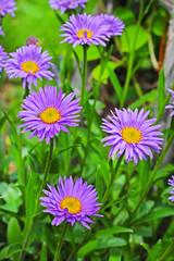 Астра альпийская (Aster alpinus) — многолетнее корневищное травянистое растение