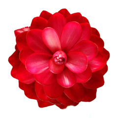 beautiful tropical red ginger flower on isolate white background