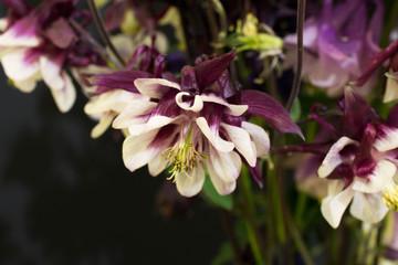 Columbine (Aquilegia) Ranunculaceae - Studio Image