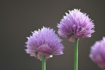 Purple flowers of garlic chives