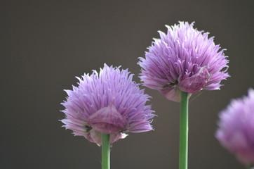 Purple flowers of garlic chives
