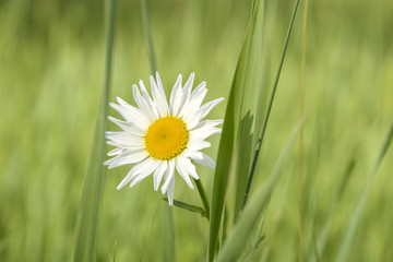 white daisy flower in the field