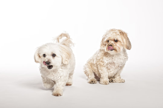 Maltipoo and Morkie Puppies