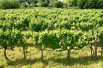 vineyards of Tokaj, Hungary