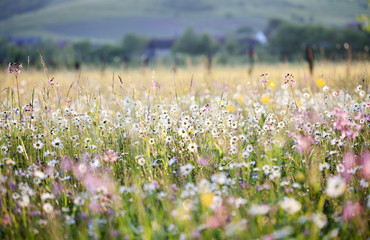 Summer meadow full with daisies after rain