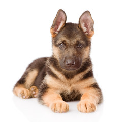 German Shepherd puppy lying in front. isolated on white backgrou
