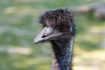 black ostrich
