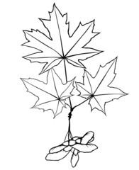 Maple leaf and maple seeds