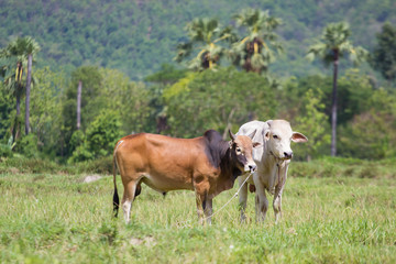 2 Cows in the field