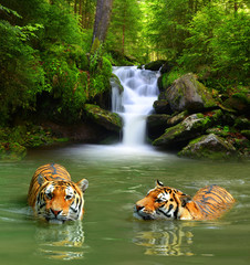 Canvas Prints Bestsellers Siberian Tigers in water