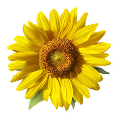 Sunflower.Realistic hand drawn vector image on white background.