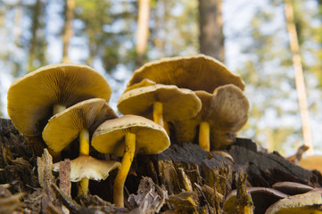 Brown toadstools in forest