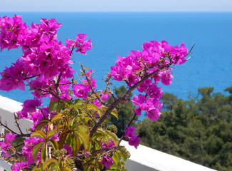 blooming bougainvilleas against the blue sea