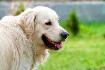 Portrait beige golden retriever running around the garden