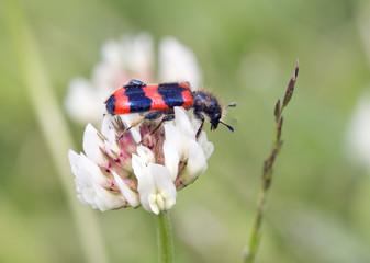 Пчелиный жук на цветке белого клевера.