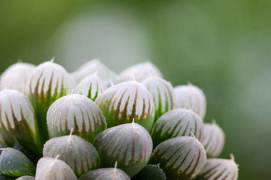 Haworthia cooperi  succulent