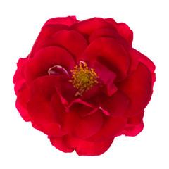 Floribunda red rose