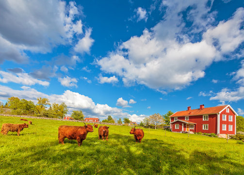 Highland cows and old farm houses in Smaland, Sweden