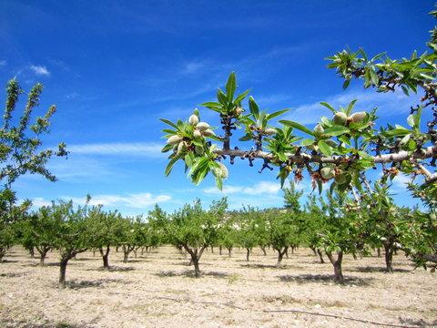 almond grove in spring
