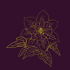 Terry flower clematis sketch.