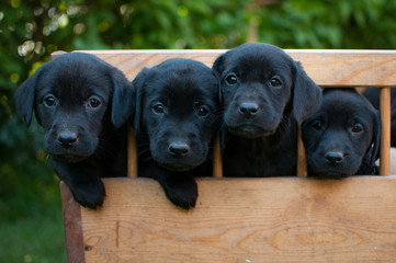 Black puppies of labrador on the cart