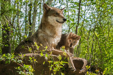 Grey Wolf (Canis lupus) Mother and Pup Sit Atop Rock
