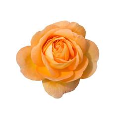 Eine freigestellte Rosenblüte, weißer Hintergrund