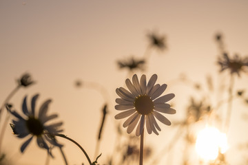 Daisies in a field with back lighting from the evening sun.