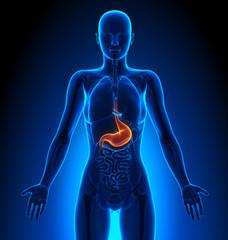 Stomach - Female Organs - Human Anatomy