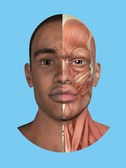Anatomy split front view of face and major facial muscles of a man including occipitofrontalis, procerus, masseter, orbicularis, zygomaticus, buccinator and cranial aponeurosis.