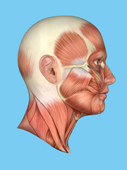 Anatomy side view of major face muscles of a man