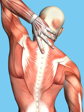 Anatomy of Male With Upper Back Pain: Featuring male figure reaching for upper back showcasing muscular groups such as trapezius, infraspinatus, teres major, latissimus dorsi and deltoid muscles.