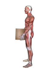 Anatomy of Male Lifting Box: Featuring male figure in lift position showcasing major muscular groups such as deltoids, triceps, biceps, quadriceps, hamstrings and obliques.