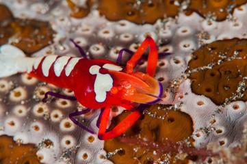 scuba diving lembeh indonesia colorful shrimp